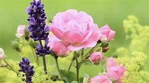 Rosen Und Lavendel : sollte man rosen zusammen mit lavendel pflanzen b z berlin ~ Yasmunasinghe.com Haus und Dekorationen