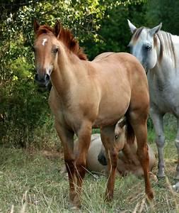 Red Dun Horses