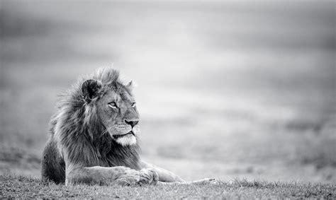 Information About Black Lion Wallpaper Hd 1080p Yousense Info