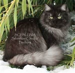 1000+ images about I love my Siberian cat on Pinterest ...