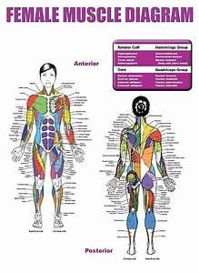 U0026quot Female Muscle Diagram