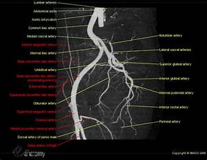 Arteries And Bones Of The Lower Extremity  Interactive
