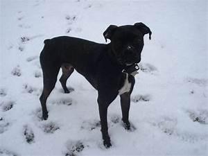 Black Boxer Pit Mix Photo - Happy Dog Heaven