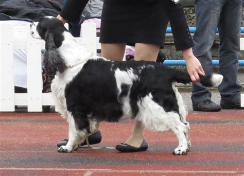 springer spaniel non shedding springer spaniel breed info breeders and puppies