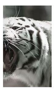 White Tiger Hd Wallpaper - WallpaperSafari
