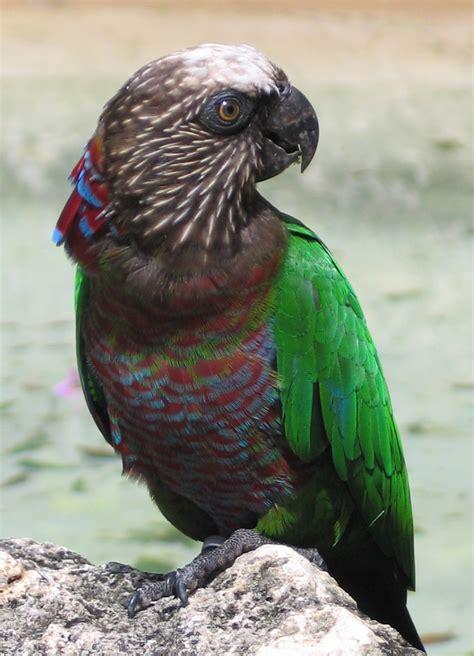 red fan parrot wikipedia