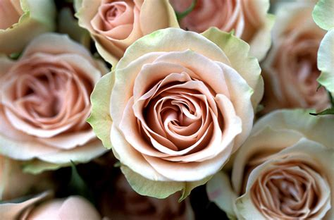 light pink roses pale pink roses photograph by kathy yates