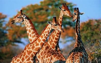 Wallpapers Giraffes Giraffe