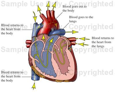 Cardiac Blood Flow through the Heart