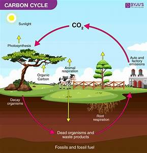 What Is Carbon Cycle  Its Process And Importance
