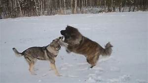 Can a dog ever win a fight against a wolf? - Quora