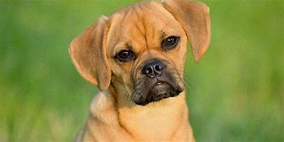 Puggle Breed Dog Facts Health Breeds Appearance