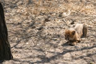 Little Baby Cheetah Pictures