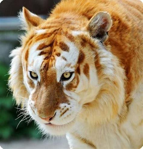Rare Animal Found Texas Tiger With Golden