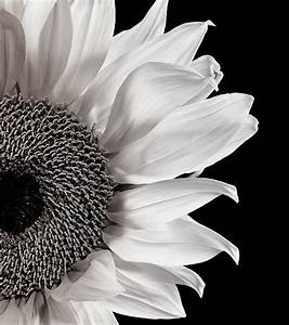 Sunflower Study In Black And White by Dawn LeBlanc ...