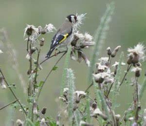Graines Fleurs Des Champs : semez ou laissez pousser des fleurs qui produisent des graines pour les oiseaux ~ Melissatoandfro.com Idées de Décoration