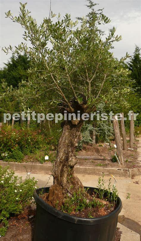 petit olivier en pot olivier