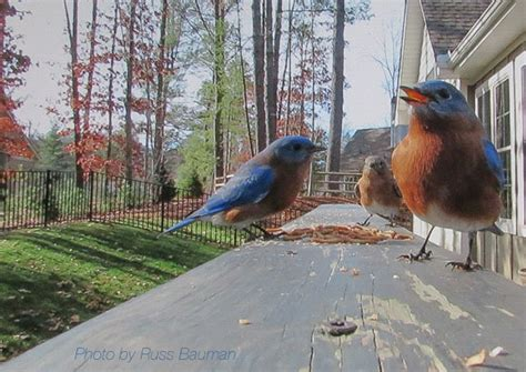 feeding bluebirds north carolina bluebird society