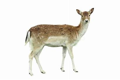 Deer Transparent Reh Roe Tailed Mom Cerf