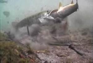 International Fishing News: UNDERWATER VIDEO: Pike attacks ...