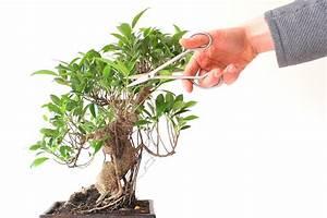 Ficus Bonsai Schneiden : pruning bonsai cutting branches to shape the tree bonsai empire ~ Indierocktalk.com Haus und Dekorationen