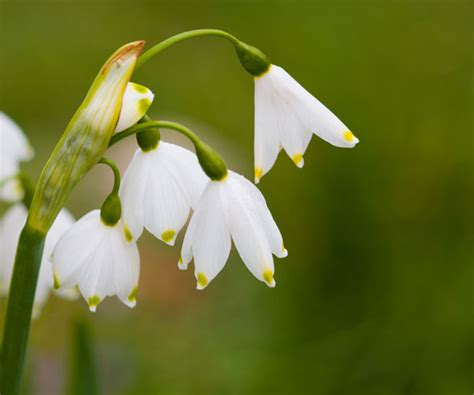 snowdrops images free use snowdrops free stock photo public domain pictures