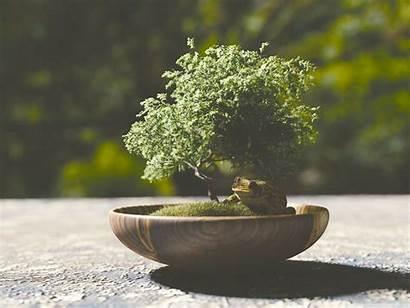 Bonsai Tree Standard