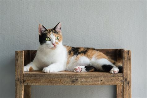 cat calico cats female names why cute always colors wideopenpets adobestock cdn0 chromosome friends furry they receive