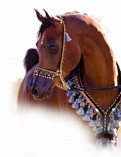 Horse Arabian Welcome Arabians Dawn Fall