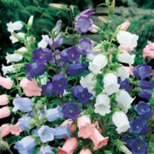 Blumen Winterhart Mehrjährig : marien glockenblumensamen glockenspiel von g rtner p tschke auf kaufen ~ Whattoseeinmadrid.com Haus und Dekorationen