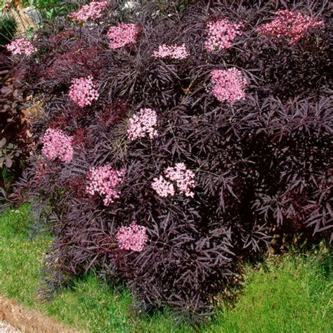 Sträucher Garten by Duft Holunder Black Lace 174 Nature Plants Gardens
