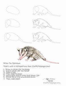 Drawing An Opossum The Draw Page