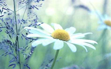 lovely hd chamomile flowers wallpapers