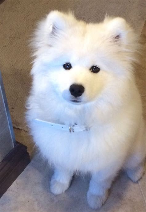247 Best Samoyeds Images On Pinterest Puppys Samoyed