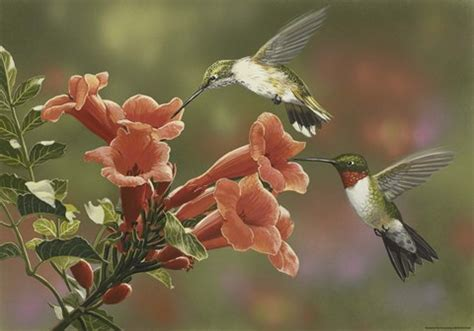 hummingbirds  trumpet flowers fine art print  william
