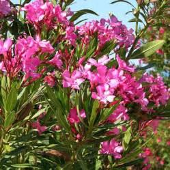 alyssum flowers australian seed nerium oleander