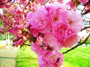 Yoshino Cherry Tree Fruit