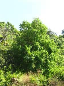 trees of morni gular morni