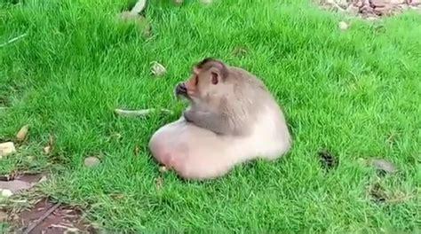 obese chunky monkey enjoys junk food  soda