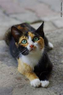 Beautiful Calico Cat Kittens