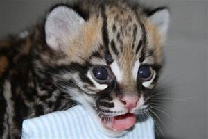 The gallery for --> Cute Baby Ocelot Kitten