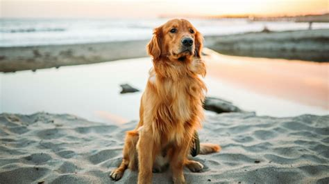 golden retriever tapety na pulpit tapety