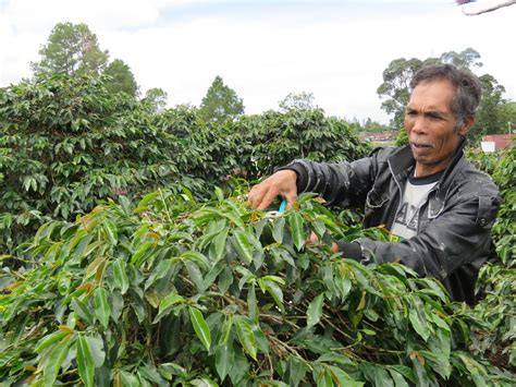 Can Subsistence Farmers In Indonesia Make A Living By Italian Coffee Zapopan Delonghi Machine Magnifica Xs Primadonna Deluxe How To Clean Not Frothing Milk Problems Jurica Queretaro Torrance