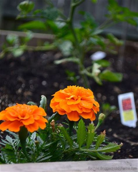 do marigolds keep bugs away some plants like marigolds can be planted alongside your garden vegetables to attract