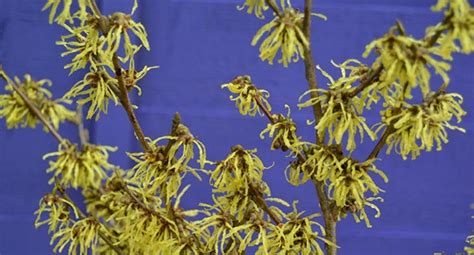 how to grow witch hazel grow hamamelis for colour and scent in the winter garden hayes garden world