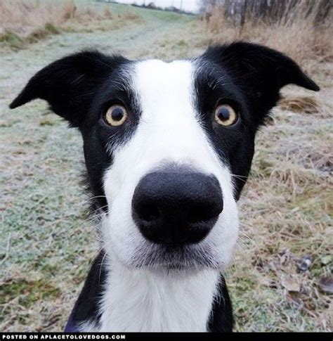 Do Collies Shed A Lot by 17 Best Ideas About Border Collie Shedding On