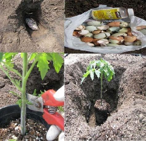 comment planter des tomates en pot comment planter correctement les tomates pour obtenir des planter des tomates cerises en pot