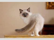 Ragdoll Kitten Tipps und süße Fotos