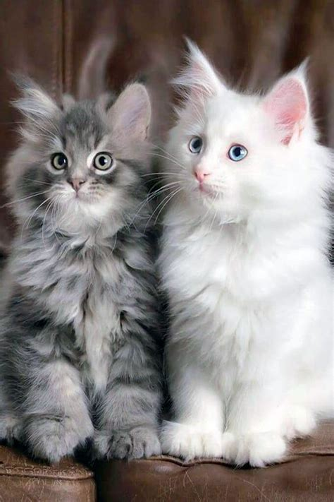 kittens maine coon cats cute fluffy mainecoonguide they why