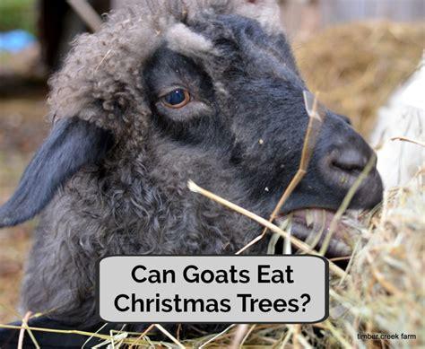 can goats eat christmas trees joseph kitchen
